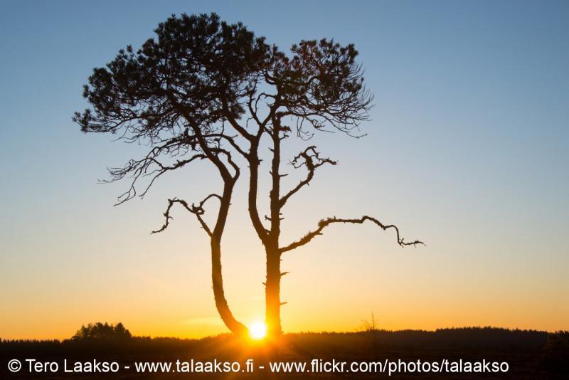 Pinus sylvestris - My sunrise tree, Torronsuo national park 2018
